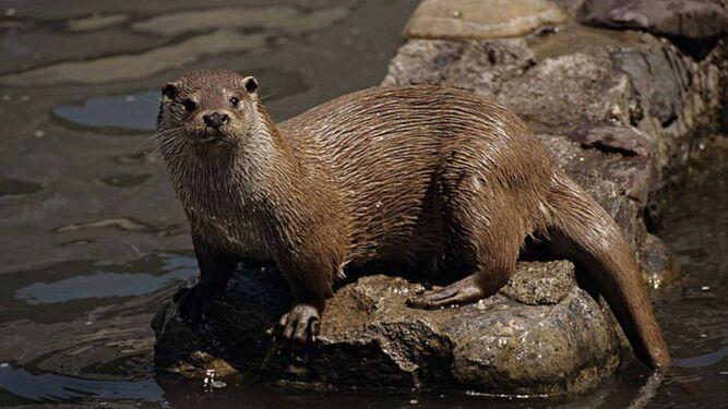Detectan doce centros de actividad de nutrias en las marismas del Odiel